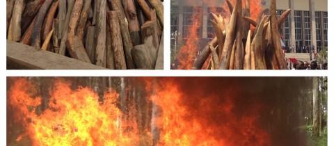 Ivory burned in Brazzaville