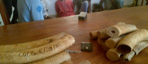 3 ivory traffickers arrested with 35 kg
