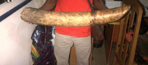 6 trafiquants d'ivoire arrêtés à Pointe-Noire