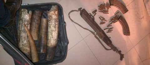3 trafiquants d'ivoire arrêtés à Ouesso