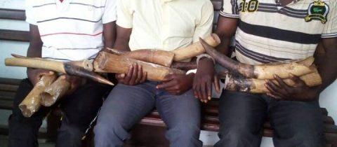 3 individus interpelés avec 8 ivoires à OYO
