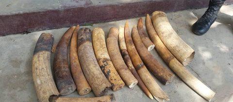 Un trafiquant arrete avec 28 kg d'ivoire a Brazzaville